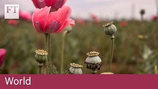 Tasmania poppy growers hit by opiate crackdown - FINANCIALTIMESVIDEOS