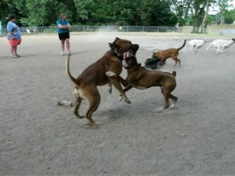 Boxer pit bull vs. Boerboel Showdown at dogpark