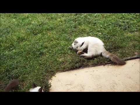 Funny Siamese Kitten Playing Insane !!