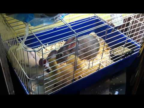 Gooslings joing Bunny cage