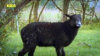 33 Keks und die salzige Leckerei – Schaf