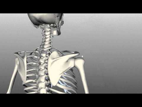 Scapula and Clavicle - Shoulder Girdle - Anatomy Tutorial