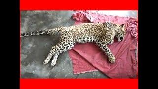Uttarakhand: Forest officials recover carcass of leopard - TIMESOFINDIACHANNEL