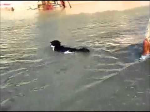 قطة تسبح كالكلاب