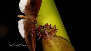 Ants Hate Amazonian Butterfly - ANIMALPLANETTV