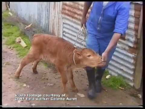 Boy calves are discarded by the dairy industry