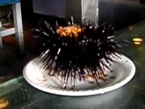 Eating a sea urchin