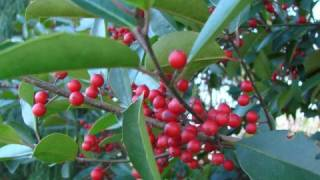 The Holly And The Ivy Christian Christmas music songs Gospel ...