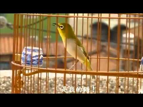 Chú chim vành khuyên hót xuất sắc nhất thế giới