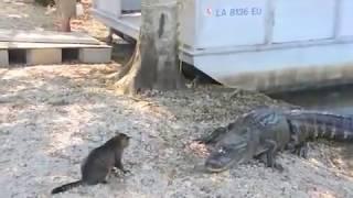 חתול נגד תנין