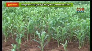మొక్క జొన్న పంట సాగు మెళకువలు | Maize Cultivation Process | Raithe Raju - CVRNEWSOFFICIAL