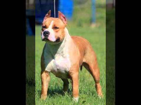 Royal Eagle Amstaff