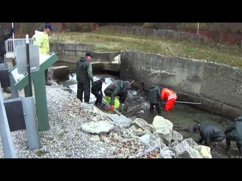 Collecting steelhead and brown trout at Trout Run in Erie, PA