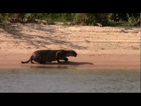 Amazing Jaguar kill Brazil 2012 Full HD1080p (Original)