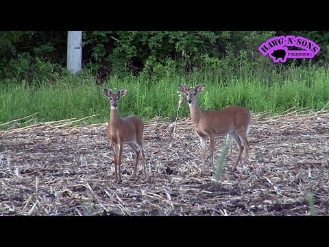 2014 Growing Future HAWG Whitetail Deer - 1 Year Old Bucks