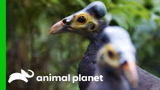 Pair Of Endangered Maleos Bond Over Their Love Of Peanuts | The Zoo - ANIMALPLANETTV