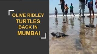 Olive Ridely turtles back in Mumbai after two decades - ZEENEWS