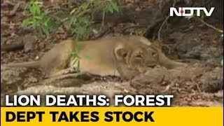 Teams Formed For Lion Rescue In Gujarat After Carcasses Of Big Cats Found - NDTV
