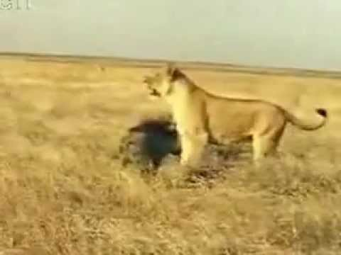 Lion defeated by a wild boar