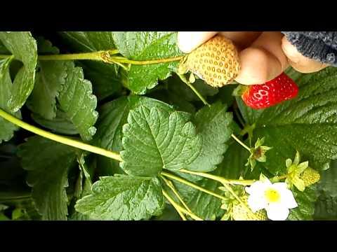 Hidroponia vertical de fresas 2