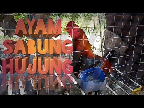 Ayam Sabung HUJUNG HD