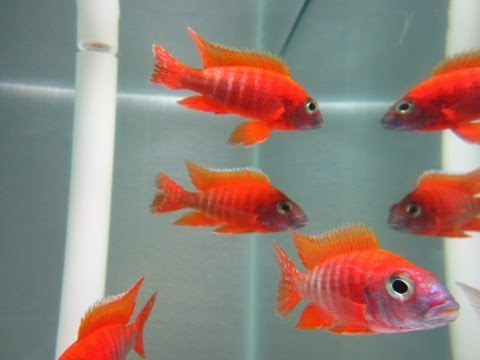 How To Breed African Cichlids
