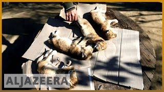 🇵🇸 Gaza: Four lion cubs die from cold weather day after birth | Al Jazeera English - ALJAZEERAENGLISH