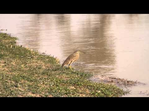 Bird searching for food and fly  on canal  16 feb 2014 near sahiwal Pakistan