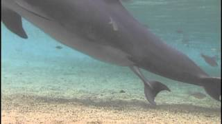 Incredible Dolphin Birth