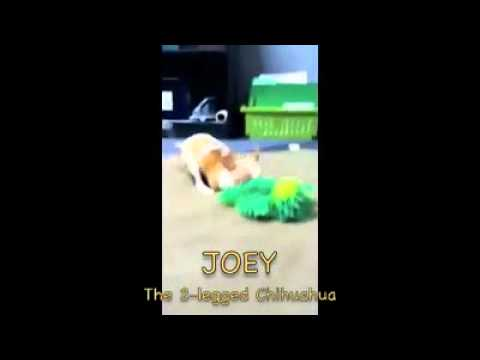 joey the two legged chihuahua puppy having so much fun playing!