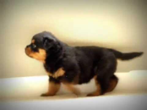 5 week old Rottweiler puppy howling, cute Rottweiler puppy -6xcQvdcWrZo