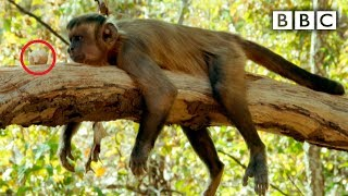 Capuchin monkey nut cracking fail - Spy in the Wild: Episode 2 Preview - BBC One - BBC