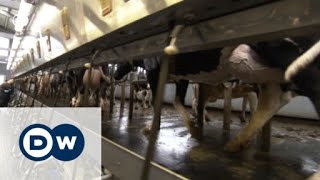 Super Cows -- and milk for a song | Made in Germany - DEUTSCHEWELLEENGLISH