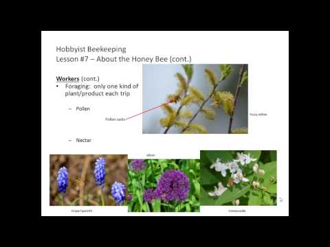 Hobbyist Beekeeping - Lesson 7: About the Honey Bee