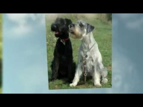 Comportamiento Cachorros Raza Schnauzer Mediano