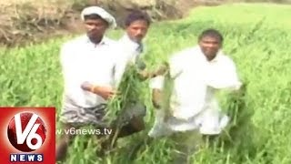 Recent Rains and Hailstorms Destroyed Agriculture Across Telangana - V6NEWSTELUGU