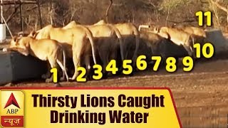 Amreli, Gujarat: 11 Thirsty Lions Caught Drinking Water in Scorching Heat | ABP News - ABPNEWSTV