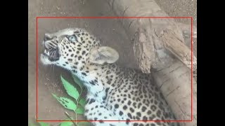 Watch: Leopard cub rescued from a poaching trap - TIMESOFINDIACHANNEL