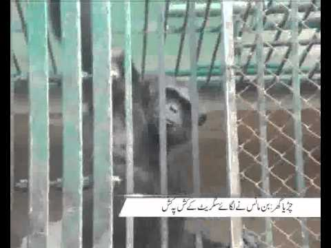 Chimpanzee Become Smoker In Zoo Pkg By Rizwan Naqvi City42
