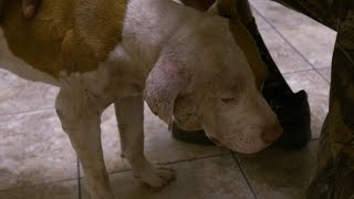 This Poor Pup Has Suffered A Lot Of Trauma | Pit Bulls & Parolees - ANIMALPLANETTV