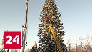 Самая красивая и пушистая: в Подмосковье срубили 100-летнюю елку