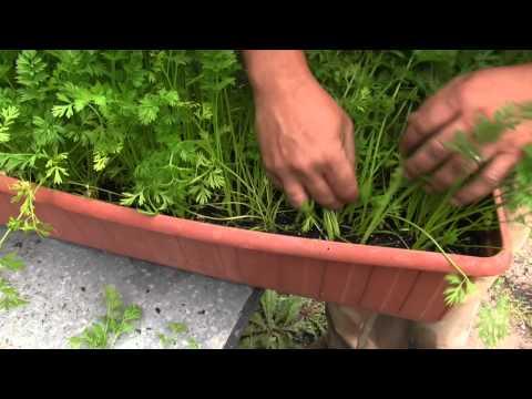 Cómo cultivar zanahoria en maceta//Balcón comestible//LlevamealhuertoTv