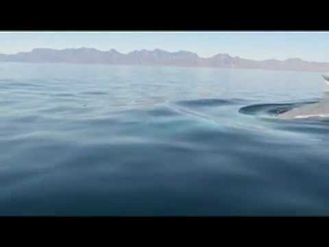 Juvenile Blue Whale Dives