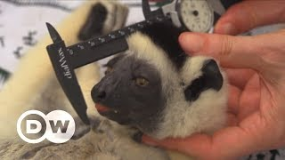 Saving Madagascar's threatened lemurs | DW English - DEUTSCHEWELLEENGLISH
