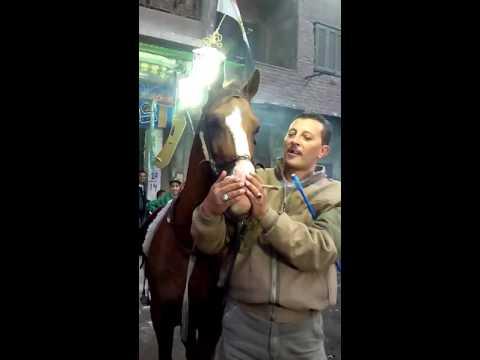 حصان اخر مزاج بيشرب حشيش