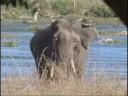Asian Elephants - Yala National Park 1