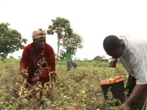 open field tomato farming in kenya Cabbage growing tips for a good head start om news monsanto open the exposed internal tomato farming.