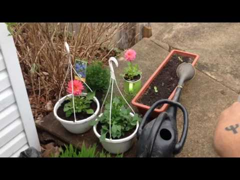 Repotting tomatoes and beans
