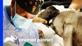 Dr Blue Helps Deliver Puppies With Emergency C-Section | The Vet Life - ANIMALPLANETTV