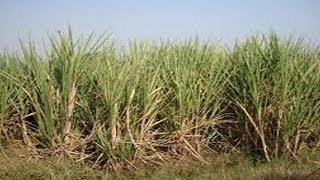 Sugarcane  Cultivation References - TV5NEWSCHANNEL